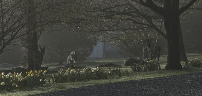 Deer at Morning at Le Barn