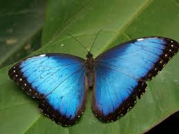 blue baterfly