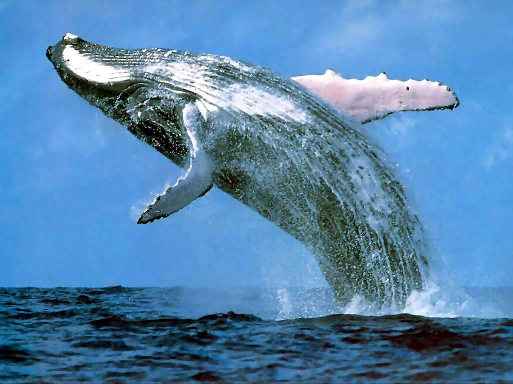 blue-whale-pictures_3