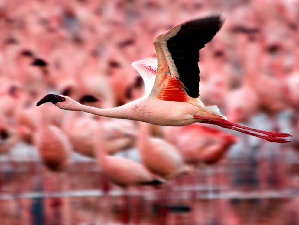 flamingos-flight-kenya_NG[1]