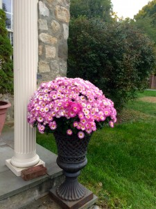 Mums in Black French Cast Iron Urn